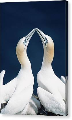 Greeting Northern Gannets Canada Canvas Print by