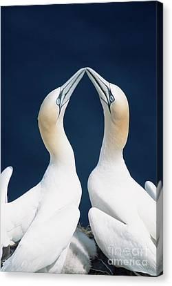 Boobies Canvas Print - Greeting Gannets Canada by Yva Momatiuk John Eastcott