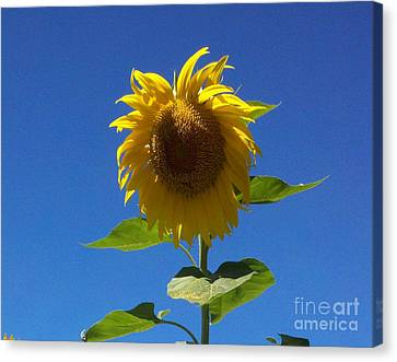 Sunflower With Open Arms Canvas Print