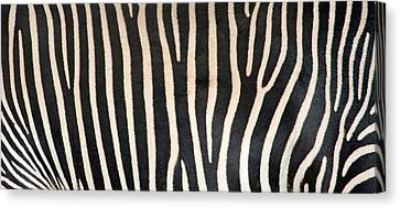Greveys Zebra Stripes Canvas Print by Panoramic Images