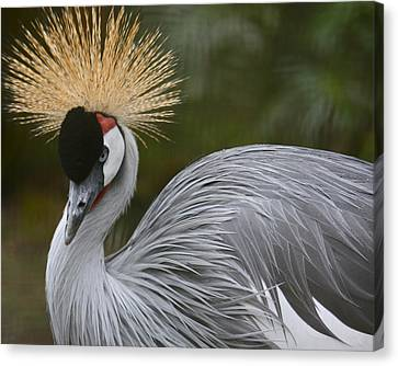 Grey Crowned Crane Canvas Print by Venetia Featherstone-Witty