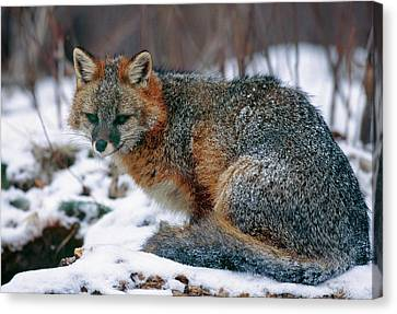 Grey Fox Canvas Print by William Ervin/science Photo Library