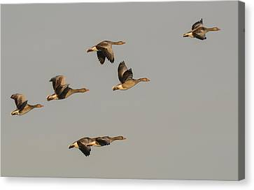 Grey Geese Canvas Print by Michael Mogensen