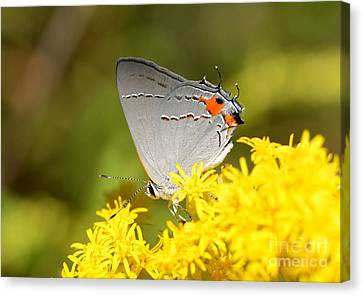 Grey Hairstreak Butterfly Canvas Print by Kathy Baccari