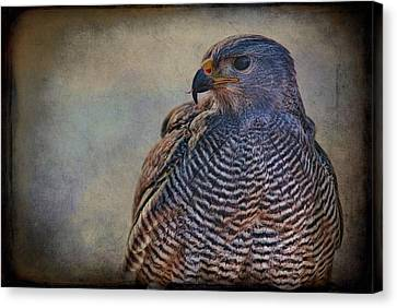 Canvas Print featuring the photograph Grey Hawk by Barbara Manis