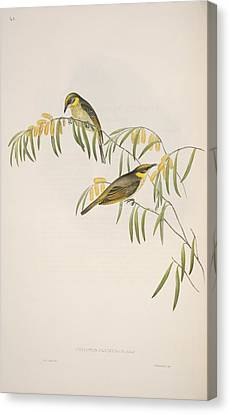 Grey-headed Honeyeaters, Artwork Canvas Print by Science Photo Library