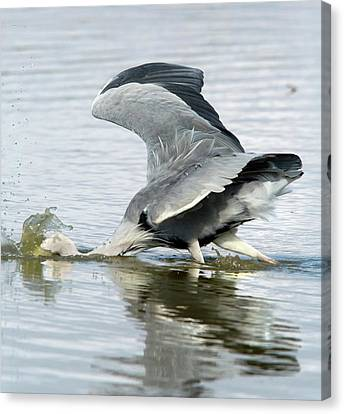 Grey Heron Catching A Fish Canvas Print