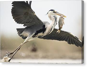 Grey Heron With A Fish Canvas Print by Science Photo Library