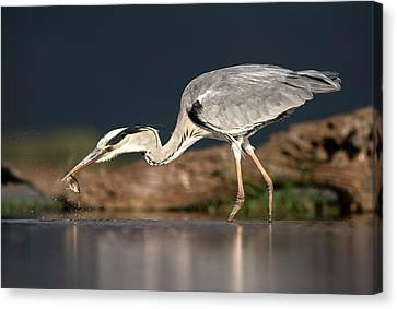Grey Heron With A Fish Canvas Print