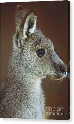 Grey Kangaroo Canvas Print by Art Wolfe