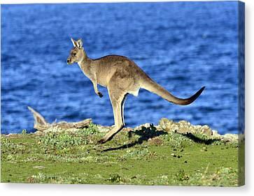 Grey Kangaroo Hopping  Maria Isl Canvas Print by D. Parer & E. Parer-Cook