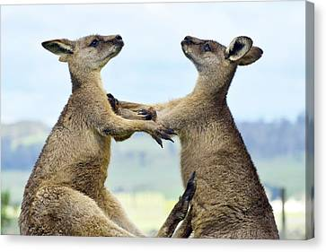 Kangaroo Canvas Print - Grey Kangaroo  Males Fighting Tasmania by David Parer and Elizabeth Parer Cook