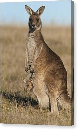 Grey Kangaroo With Joey Maria Isl Canvas Print by D. Parer & E. Parer-Cook