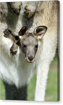 Grey Kangaroo With Joey Tasmania Canvas Print by D. Parer & E. Parer-Cook
