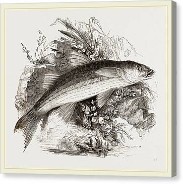 Grey Mullet Canvas Print by Litz Collection
