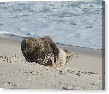 Grey Seal Pup On Beach Canvas Print by Kimberly Perry