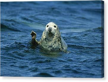 Grey Seal Waving Canvas Print by Martin Woike