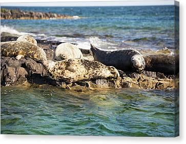 Grey Seals (halichoerus Grypus) Canvas Print