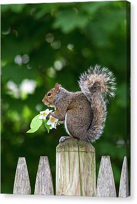Grey Squirrel Canvas Print by Babak Tafreshi