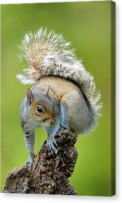 Grey Squirrel Canvas Print by Dr P. Marazzi