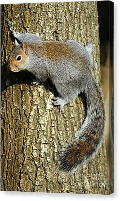 Grey Squirrel On A Tree Canvas Print