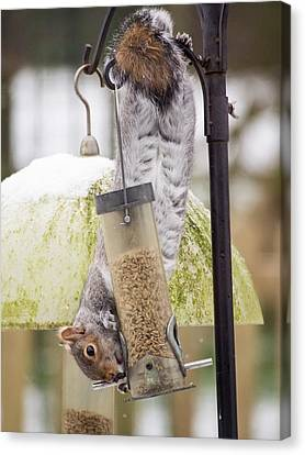 Grey Squirrel (sciurus Carolinensis) Canvas Print by Ashley Cooper