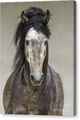 Grey Stallion Runs Head On Canvas Print