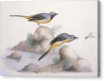 Grey Wagtail, 19th Century Canvas Print by Science Photo Library
