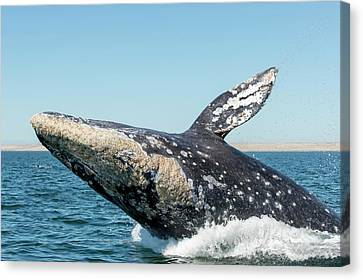 Grey Whale Breaching Canvas Print by Christopher Swann