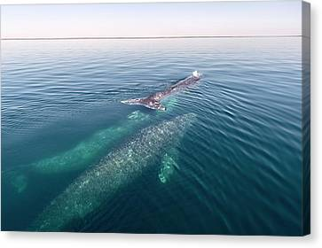 Grey Whales Canvas Print by Christopher Swann