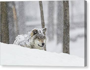 Wolf Pics Canvas Print - Grey Wolf  Canis Lupus  During A Snow by Dominic Marcoux