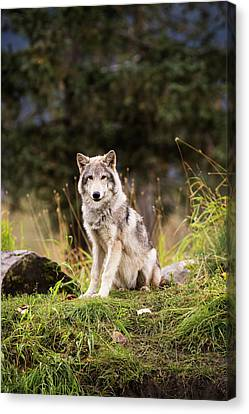 Grey Wolf  Canis Lupus  Pup Roams It S Canvas Print by Doug Lindstrand