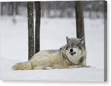 Wolf Pics Canvas Print - Grey Wolf  Canis Lupus  Showing by Dominic Marcoux