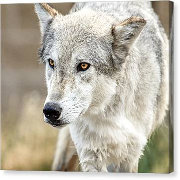Canvas Print featuring the photograph Grey Wolf Eyes by Yeates Photography