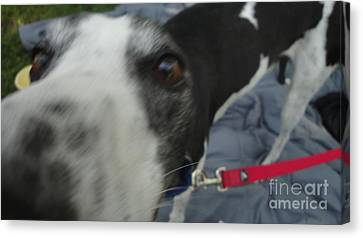 Greyhound Canvas Print - Greyhound Rescue 9 by Jackie Bodnar