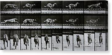 Greyhound Running Canvas Print by Eadweard Muybridge