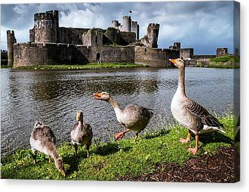 Greylag Geese And Caerphilly Castle Canvas Print by Paul Williams