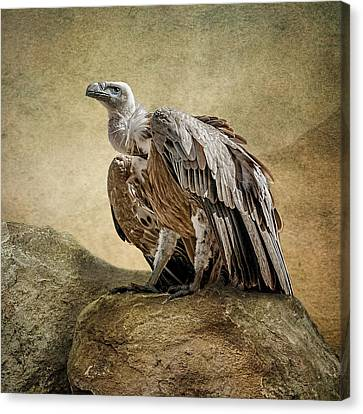 Canvas Print featuring the photograph Griffon Vulture by Brian Tarr