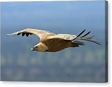 Griffon Vulture In Flight Canvas Print by Bildagentur-online/mcphoto-schaef