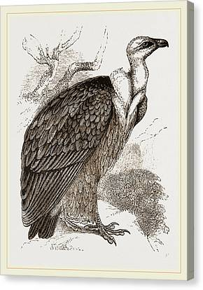 Griffon-vulture Canvas Print