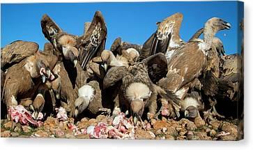 Vulture Canvas Print - Griffon Vultures Feeding by Nicolas Reusens