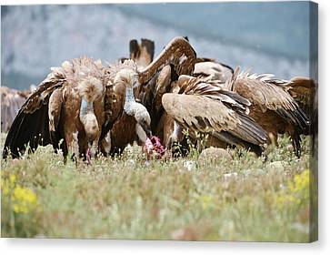 Griffon Vultures Scavenging Canvas Print by Dr P. Marazzi