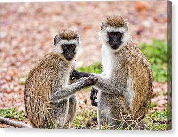 Grivet Monkey Chlorocebus Aethiops Canvas Print by Photostock-israel