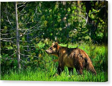 Canvas Print featuring the photograph Grizzly Bear 760 by Greg Norrell
