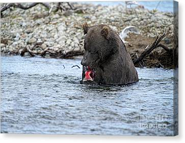 Brown Bear Eating Salmon Canvas Print by Dan Friend