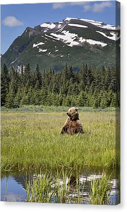 Grizzly Bear In Meadow Lake Clark Np Canvas Print by Richard Garvey-Williams