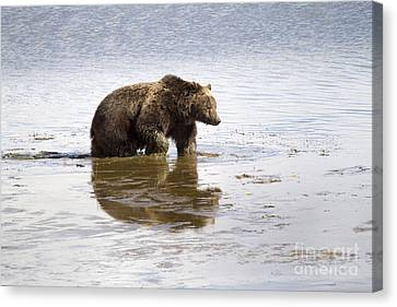 Grizzly Bear In Muddy Water Canvas Print by Mike Cavaroc