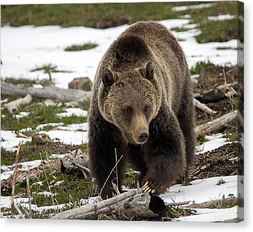 Canvas Print featuring the photograph Grizzly Bear In Spring by Jack Bell
