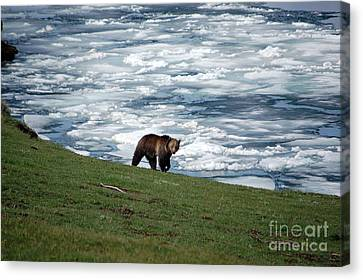 Canvas Print featuring the photograph Grizzly Bear On Frozen Lake Yellowstone by Shawn O'Brien
