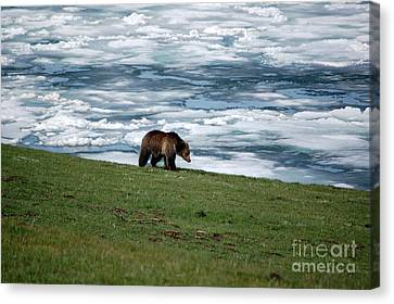 Canvas Print featuring the photograph Grizzly Bear On The Shoreline Of Frozen Lake Yellowstone by Shawn O'Brien